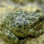 Зеленую жабу можно узнать по окраске