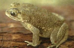 У серых жаб, как у всех остальных, бородавчатая кожа