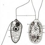 Простейшие жгутиковые организмы