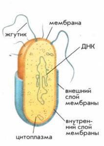 Бактерия - примитивная клетка