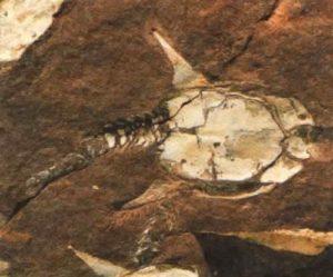 Эта окаменевшая рыба дориаспис, найденная в Норвегии, имеет много общего с птерасписом