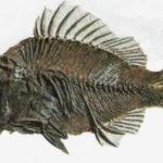 Прискакара, найденная в США и жившая 40 миллионов лет назад, похожа на окуня.