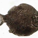 Дапедиус, типичный представитель примитивных костных рыб с плотно пригнанными чешуйками.