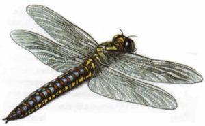 Меганевра, гигантская стрекоза каменноугольного имела больше 70 см в размахе крыльев