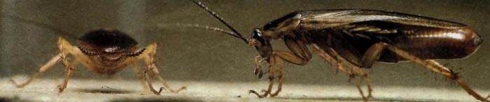 Тараканы были очень распространены уже 300 миллионов лет назад.