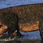 Комодскии варан - крупнейшая ящерица на земле.