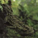 Новозеландская гаттерия (сфенодон)