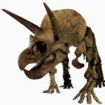 Впечатляющая физиономия трицератопса (8 м в длину). Он жил в конце мелового периода.