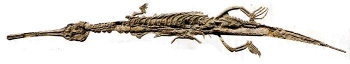 Скелет крокодила, стенеозавра (140 миллионов лет). Длина 3,6 м; он похож на современного гавиала.