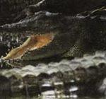 Современные крокодилы гораздо лучше чувствуют себя в воде, чем на суше.