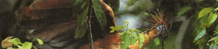 У современной птицы гоацина птенцы имеют на крыле когтистые пальцы, чтобы лазать по деревьям.
