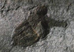 Ископаемый желудь дуба