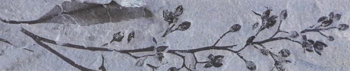 Ископаемое растение, на котором видны бутоны цветов, относится к эоценовому периоду (50 миллионов лет назад).