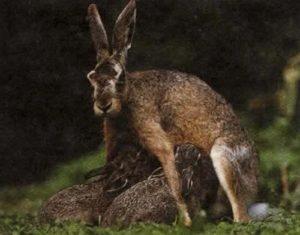 Млекопитающие (здесь зайцы), единственные животные, которые кормят своих детенышей молоком.