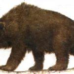 Псовые и медвежьи