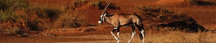 Орикс, африканская антилопа
