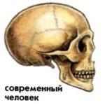 Череп современного человека