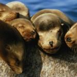 Тюлень с медвежьей головой