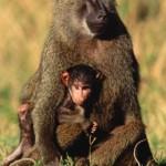 Стадо бабуинов на марше