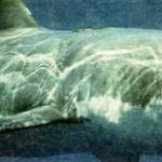 Ракетообразная форма акулы великолепно приспособлена для плавания.