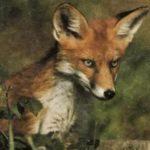 Европейская лиса обитает в регионах с умеренным климатом и имеет довольно длинные уши.