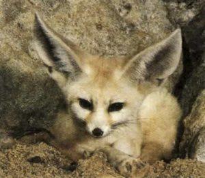 Лиса пустынь, или фенек, имеет очень длинные уши, чтобы отдавать тепло.