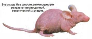 Эта мышь без шерсти демонстрирует результат неожиданной, генетической мутации.