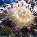 Актинии, морские анемоны