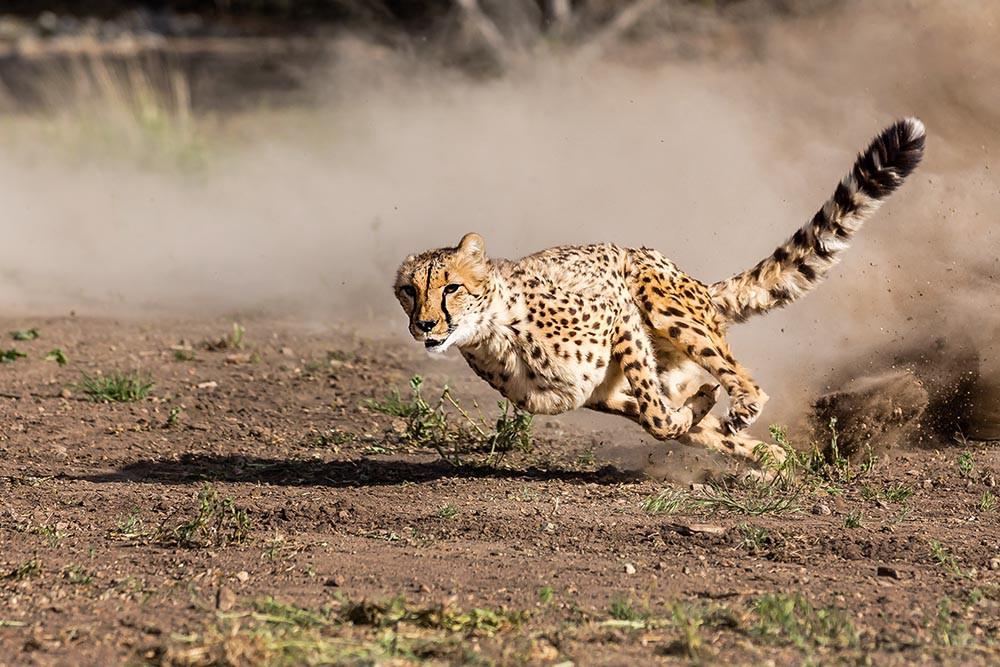 Знаете ли вы, что так быстро животные могут...