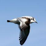 Чайка малая