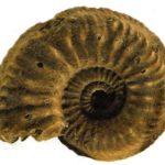 Закрученная раковина аммонитов часто украшена маленькими волнообразными линиями, характерными для каждого вида