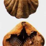 Брахиоподы