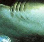 Мощные челюсти бычьей акулы