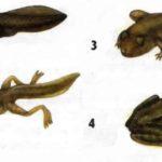 Превращения лягушки