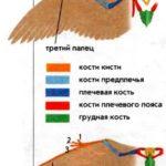 Птицы и птерозавры: отличия в строении крыльев