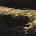 Утконос, млекопитающее, которое откладывает яйца, как его далекие предки.