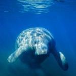 Тюлени южного полушария