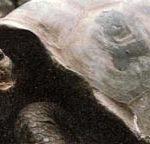 На каждом из 13 островов Галапагосского архипелага живет особая разновидность гигантской черепахи.