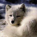 Песец имеет короткие округлые уши, которые помогают не мерзнуть на холоде.