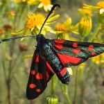 Бабочки Пестрянки